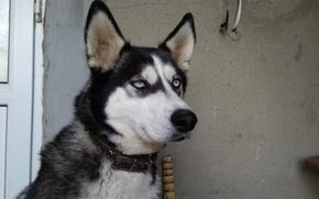 Picture dog, Alice, blue eyes, husky