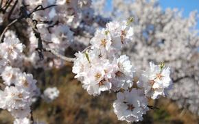Picture macro, spring, flowering, almonds