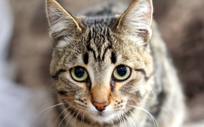 Picture cat, eyes, look, nose, ears