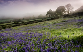 Picture England, fog, Campanula, field, morning, flowers