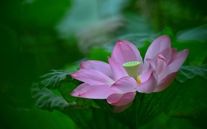 Picture leaves, nature, petals, Lotus