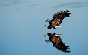 Picture lake, reflection, bald eagle, hunting
