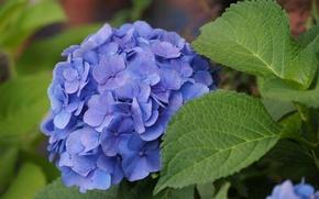 Picture flowers, beautiful, blue, greens, hydrangeas