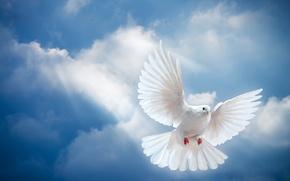 Wallpaper the sky, light, bird, the world, white, peace, the rays of the sun, sky, dove, ...