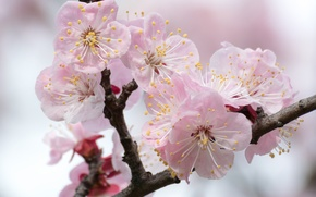 Picture macro, branch, spring, apricot