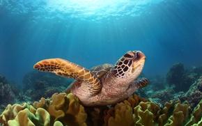 Wallpaper turtle, the ocean, light, under water, sea