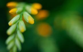 Picture greens, flower, Crocosmia