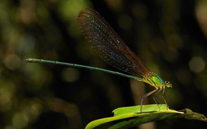 Picture dragonfly, a blade of grass, colored wings