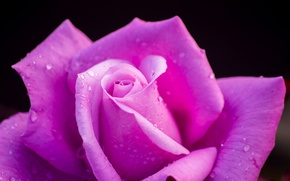 Picture drops, macro, rose, petals, Bud, black background