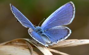 Wallpaper blue, sheet, Butterfly