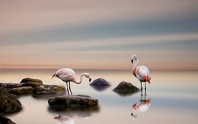 Picture birds, background, Flamingo