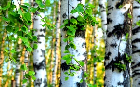 Picture leaves, trees, birch