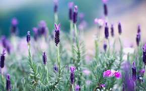 Picture grass, flowers, meadow, Thailand, lavender