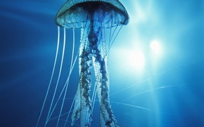 Picture underwater, Pacific Ocean, Jellyfish