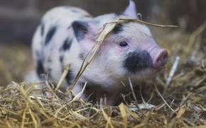Wallpaper animals, pigs, background