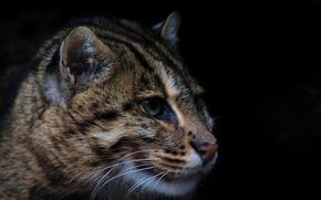 Picture predator, wild cat, fishing cat, kot Rybolov