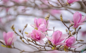 Picture macro, pink, branch, spring, Magnolia
