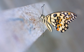 Picture macro, butterfly, Lime Butterfly, lemon sailboat demolay