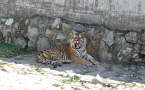 Picture predator, wild cat, The tiger