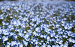 Wallpaper flowers, blur, bokeh, petals, field, blue, Nemophila