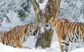Picture winter, snow, tree, predator, pair, fangs, big cat, the Amur tiger