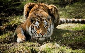 Picture grass, tiger, predator, hunting, lying