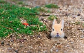 Picture Japan, Hiroshima Prefecture, Rabbit Island, feral domestic rabbit, island Tokunoshima