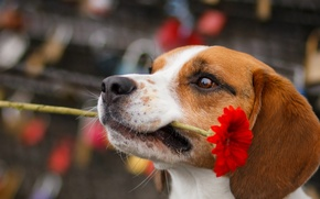 Picture flower, look, dog