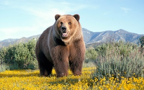 Wallpaper mountain, Mike, Wallpaper, chamomile, field, Bear, wallpaper, bear