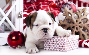 Picture box, gift, toy, dog, ball, puppy, English bulldog