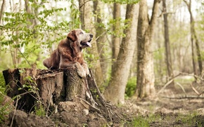 Picture forest, trees, stump, dog