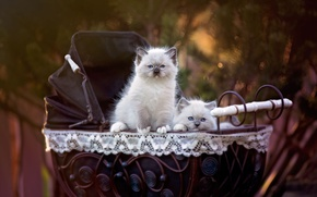 Picture cats, nature, background, pair, kittens, stroller, two, pussies, cuties, small, blue-eyed, Siamese, ragdoll, the babies, …