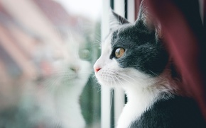 Picture cat, mustache, Koshak, window, looks, Tomcat