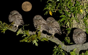 Wallpaper birds, night, the moon, branch, Chicks, family, brownies owls