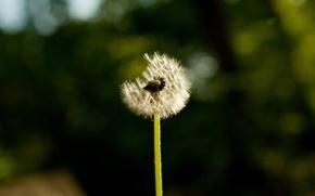 Picture flowers, nature, photos, macro dandelions