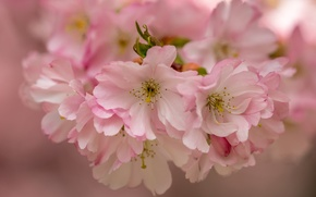 Picture flowers, macro, cherry, flowering