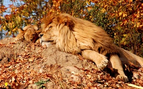 Picture LEO, STAY, MANE, CALM, SLEEP, LION