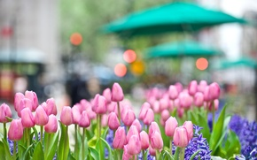 Picture macro, light, flowers, nature, the city, lights, glare, street, spring, Bud, tulips, pink, flowerbed, hyacinth