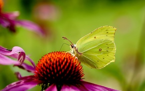 Picture flower, background, pink, butterfly, Echinacea