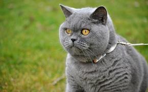 Picture greens, cat, grass, eyes, cat, look, grey, street, portrait, leash, collar, walk, mordaha, British, handsome, …
