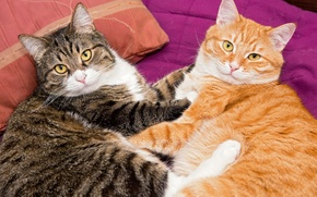 Picture cats, two, Cats
