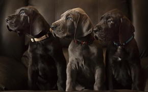 Picture dogs, puppies, Labradors