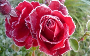 Wallpaper frost, roses, buds