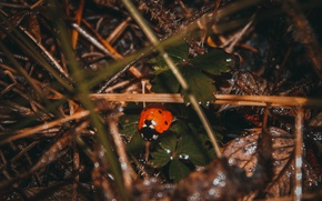 Picture autumn, forest, grass, macro, needles, rain, ladybug, insect