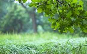 Picture forest, grass, leaves, green, tree, branch, oak