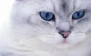 Picture white, eyes, look, Cat, blue, muzzle, pussy