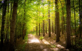 Picture greens, forest, trees, foliage, track, Sunny, path