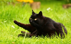 Picture greens, cat, summer, grass, cat, look, nature, pose, lawn, glade, black, paws, garden, lies, yellow …