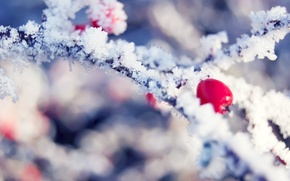 Picture winter, frost, branch, berry, crystals, red, bright