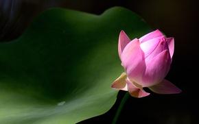 Picture macro, sheet, background, Bud, Lotus